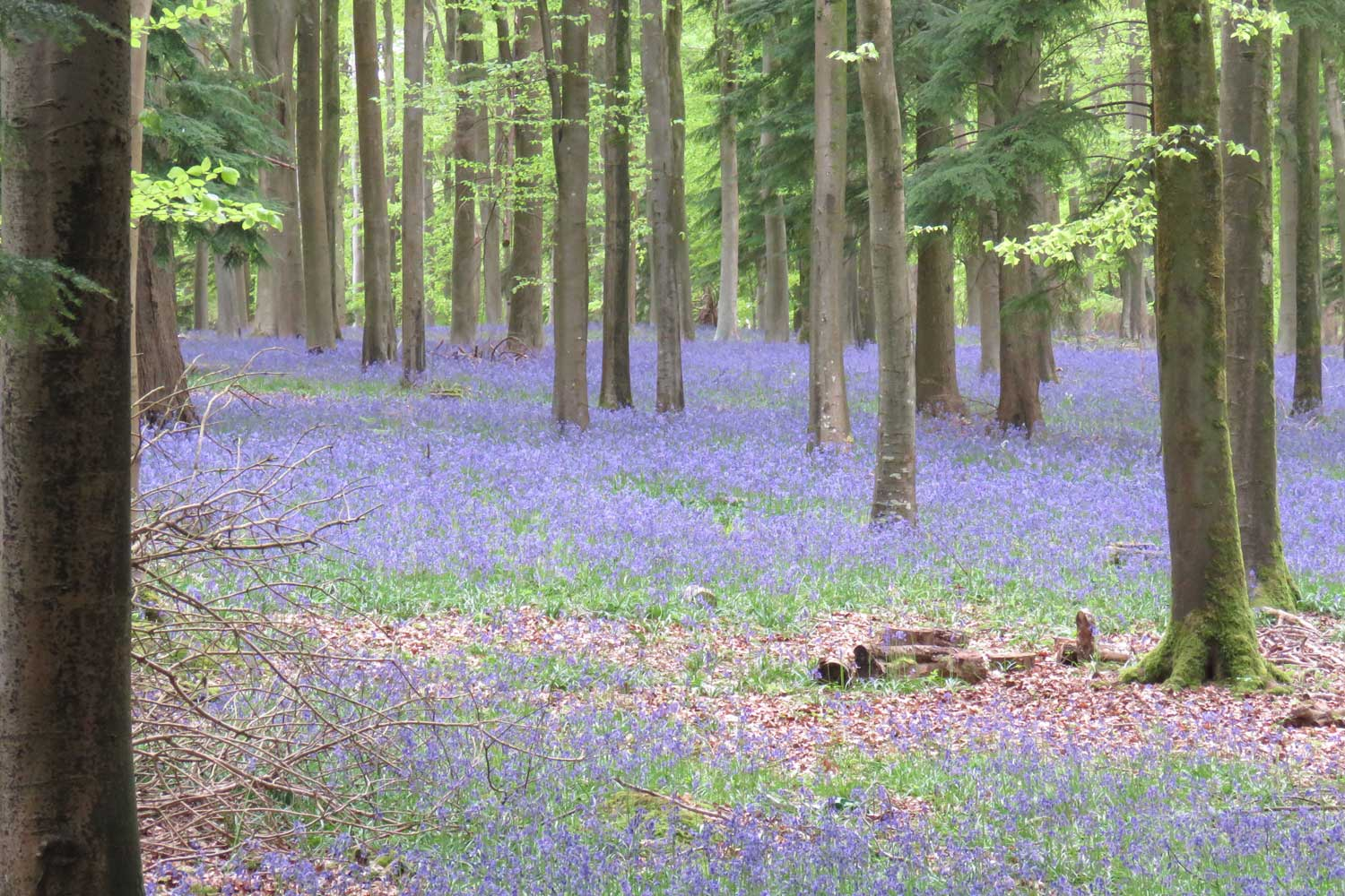 Bluebells in Woodland | Bed & Breakfast, Nether Wallop, River Test Valley, England